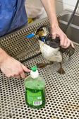 Cleaning an oil contaminated guillemot with a hose and soap. — Stock Photo