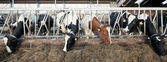 Feeding Cattle — Stock Photo