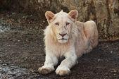 Giovane leone — Foto Stock