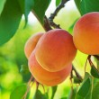 Ripe Apricots - Foto Stock