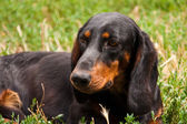 Dachshund dog — Foto Stock