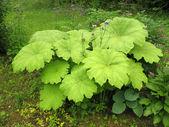 Astilboides (Astilboides tabularis) on the shady flower bed — Stock Photo