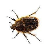 Trichiotinus - Hairy flower chafer beetle, bee-like, over white — Stock Photo