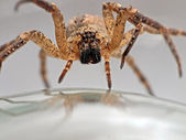 Spider advancing - arachnophobia nightmare — Stock Photo