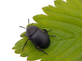 Dung aka Dor Beetle on leaf - Geotrupes stercorarius — Stock Photo