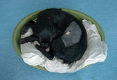 Post operative dog in basket, still groggy and sleeping — Stock Photo