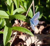 Polyommatus icarus - Common Blue butterfly, male — Stock Photo