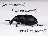 See no weevil - pest control — Stock Photo