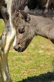 Pony grey — Stock Photo