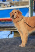 Perro golden retriever — Foto de Stock
