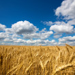 Field of wheat — Stock Photo #11453317