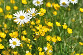 Flowering grassland — Stock Photo