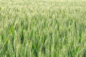 Campo de cebada — Foto de Stock