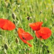 Poppies field with a bumblebee — Stock Photo