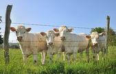 Young Charolais cows — Stock Photo