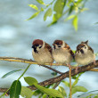 Brood of sparrows — Stock Photo