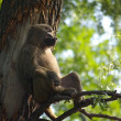 Relaxing monkey, part two — Stockfoto