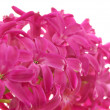 Pink hyacinth in profile — Stock Photo