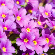 Lilac primula — Stock Photo #10947826
