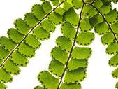 绿色蕨类植物的分支 — 图库照片