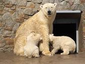 Bears breast feeding — Stock Photo