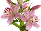 Delicate lilies — Stock Photo
