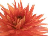 Brandelli dalia rosso su bianco — Foto Stock
