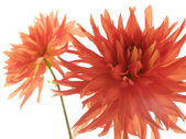 Two red isolated dahlias — Stock Photo