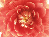 Center of red dahlias flower — Stock Photo