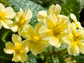 Yellow primula — Stock Photo