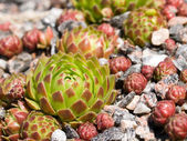 Bud of sempervivum in stone — Stock Photo