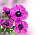Beautiful purple anemone flower — Stock Photo