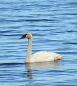 One Trumpeter Swan (Cygnus buccinator) — Stock Photo