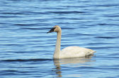 Trumpeter Swan (Cygnus buccinator) — Stock Photo