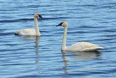 A Pair of Trumpeter Swan (Cygnus buccinator) — Stock Photo