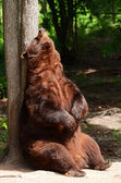 American Black Bear Rubbing His Back — Stock Photo
