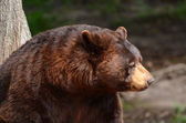 American Black Bear (Ursus americanus) — Stock Photo