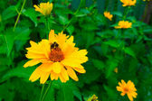 Insects on a yellow flower — Stock Photo