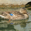 Female duck mallard on water — Foto Stock