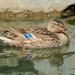 Female duck mallard on water — Lizenzfreies Foto