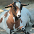Quiet goat - Stock Photo