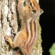 Chipmunk on a tree - Stock Photo