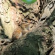 Chipmunk on a tree - Photo