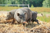 Grey pigs — Stock Photo