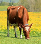 A cow eating in a field of dandelion — Stock Photo