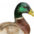 Stock Photo: Male mallard duck