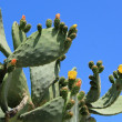 Stock Photo: Cactus nopal flowers