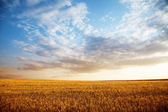 Summer landscape - wheat field — Foto de Stock