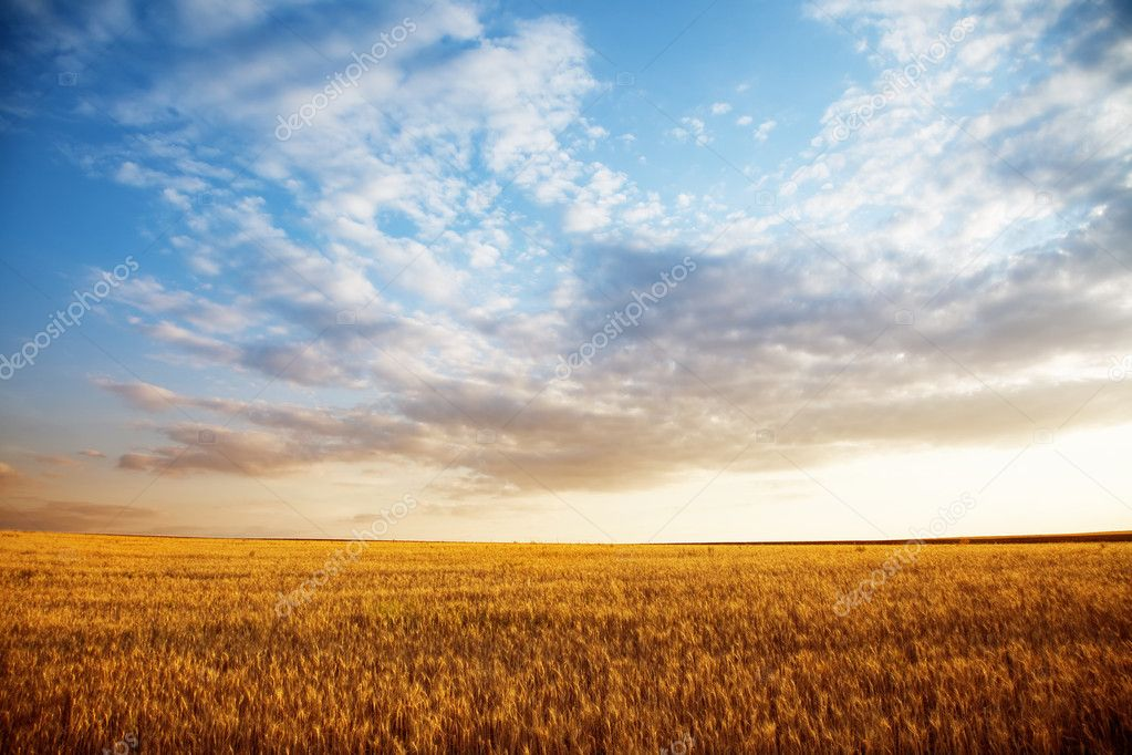 Summer landscape - wheat field at suset — Stock Photo #11485281