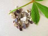 Horse chestnut seeds, Hippocastani semen — Stock Photo